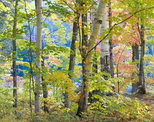 002 maples and birches white mountains new hampshire.345.lightbox