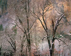 005 black oaks winter yosemite california.603.lightbox