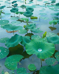 006 lily pads reelfoot lake tennessee.13.lightbox