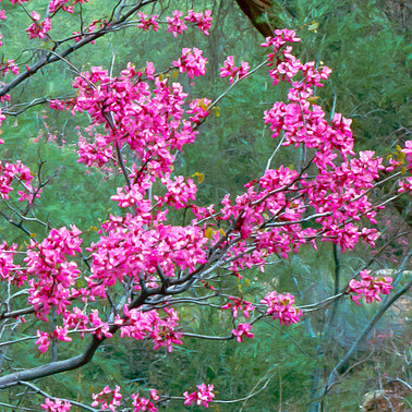 017 redbud grand canyon arizona.592.detail