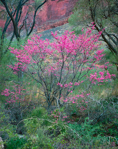 017 redbud grand canyon arizona.592.lightbox