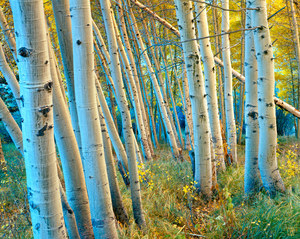 047 aspens mono county california.559.lightbox