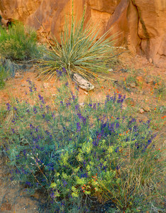 049 wildflowers coyote gulch utah.404.lightbox