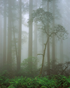 057 redwoods in fog 3 redwood national park california.568.lightbox