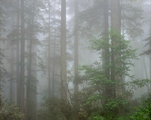 072 redwoods in fog  2 redwood national park california.543.lightbox