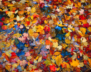 075 autumn leaves white mountains new hampshire.546.lightbox