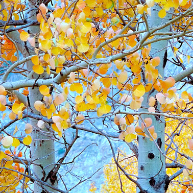 096 aspens on rush creek mono county california.526.detail