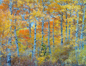 096 aspens on rush creek mono county california.526.lightbox