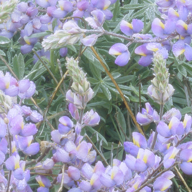 130 lupines and poppies in the rain san rafael mountains california.498.detail