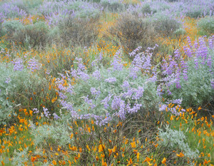 130 lupines and poppies in the rain san rafael mountains california.498.lightbox