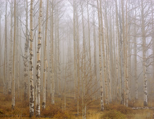 138 aspens in a cloud southern utah.482.lightbox