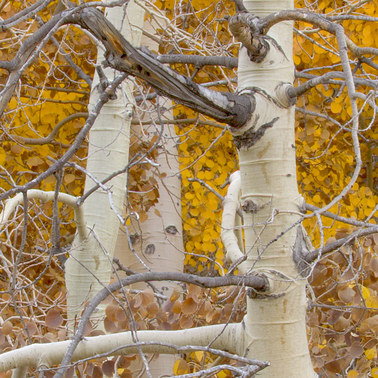 157 aspens eastern sierra california.485.detail