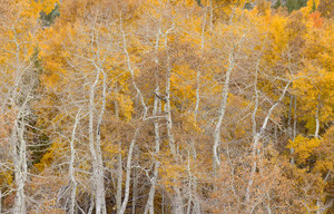 157 aspens eastern sierra california.485.lightbox