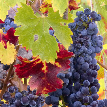 164 autumn cabernet sonoma county california.473.detail