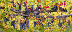 164 autumn cabernet sonoma county california.473.lightbox