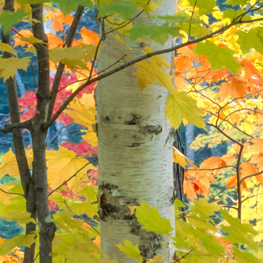 168 maples and birches 2 white mountains new hampshire.476.detail