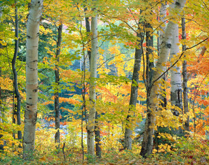 168 maples and birches 2 white mountains new hampshire.476.lightbox