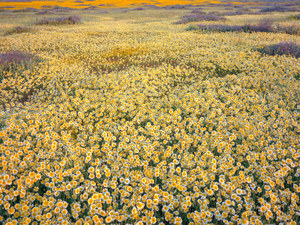 170 floral sea at dawn carrizo plain national monument california.478.lightbox