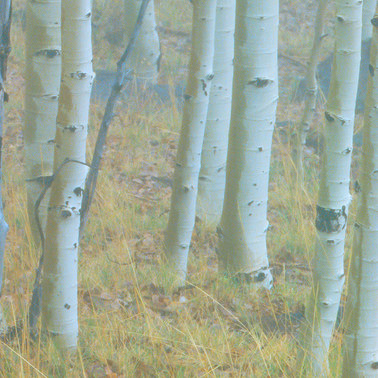 216 aspens in fog aquarius plateau utah.670.detail