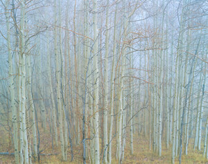 216 aspens in fog aquarius plateau utah.670.lightbox