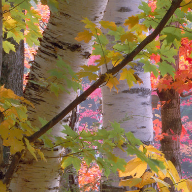 236 maples and birches 3 white mountains new hampshire.648.detail