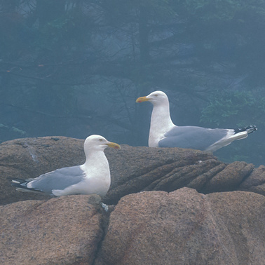 290 herring gulls acadia national park maine.664.detail