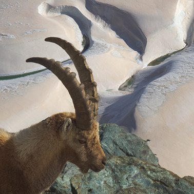 394 ibex gorner glacier switzerland.660.detail