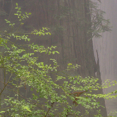 443 redwoods in fog 5 redwood national park california.683.detail