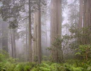 443 redwoods in fog 5 redwood national park california.683.lightbox