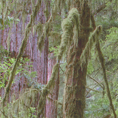 444 redwoods quartet redwood national park california.684.detail