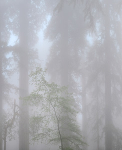 447 redwoods in fog 8 redwood national park california.687.lightbox
