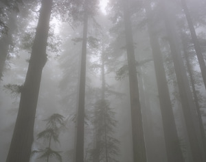 448 redwoods in fog 9 redwood national park california.688.lightbox