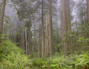 460 redwoods in fog 13 redwood national park california.699.lightbox