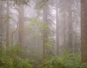 462 redwoods in fog 14 redwood national park california.701.lightbox
