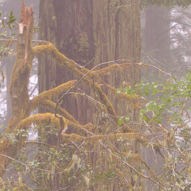 463 redwoods in fog 15 redwood national park california.702.detail