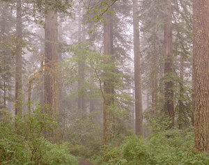 463 redwoods in fog 15 redwood national park california.702.lightbox