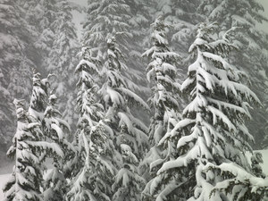 468 mountain hemlocks spring snow washington.706.lightbox