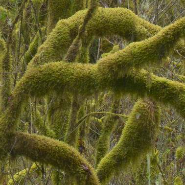 469 mossy rainforest north cascades washington.707.detail