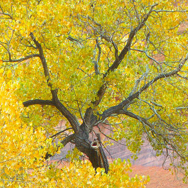 481 cottonwood autumn southern utah.717.detail
