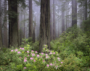 492 redwoods and rhododendron in fog redwood national park california.726.lightbox